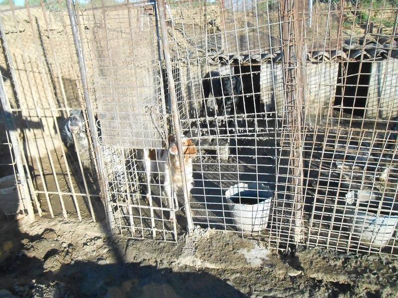 Dringender Spendenaufruf für 30 verwahrloste Hunde aus Sahagun/Spanien 16743477zc