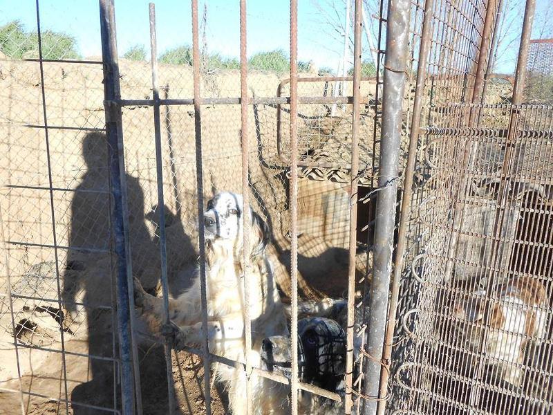 Dringender Spendenaufruf für 30 verwahrloste Hunde aus Sahagun/Spanien 16743486xy