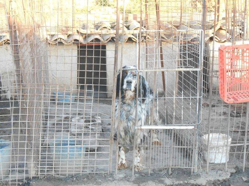 Dringender Spendenaufruf für 30 verwahrloste Hunde aus Sahagun/Spanien 16743487zt
