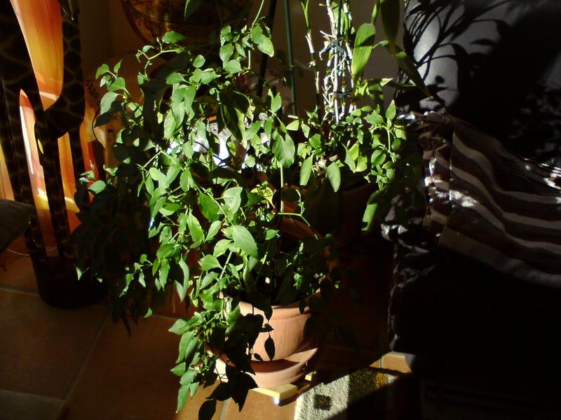 chili paprika tomaten aussaat pflege ernte 2014. Black Bedroom Furniture Sets. Home Design Ideas