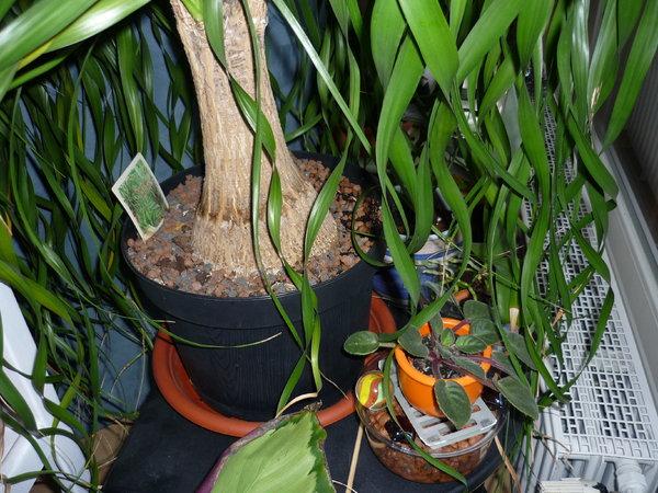 braune bl tter am elefantenfu seite 1 pflanzendoktor. Black Bedroom Furniture Sets. Home Design Ideas