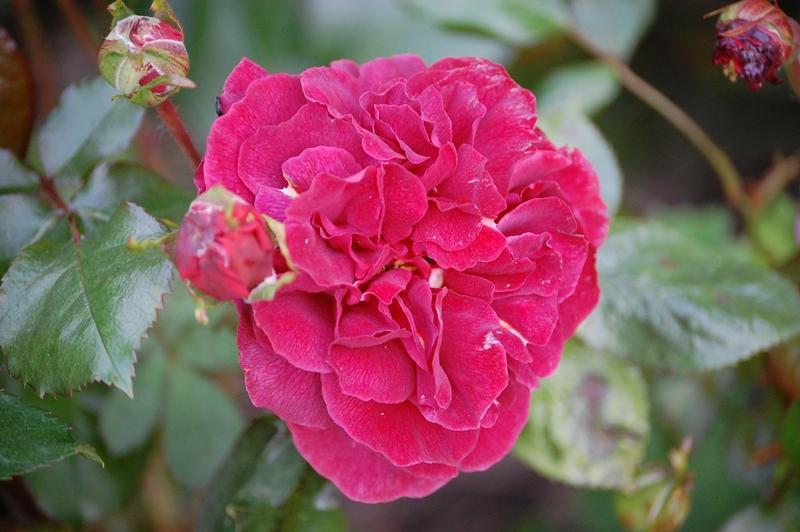 entscheidungshilfe f r rote rose gesucht seite 3 rund. Black Bedroom Furniture Sets. Home Design Ideas