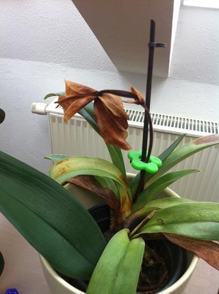 orchidee und wie weiter seite 53 pflanzenfragen mein. Black Bedroom Furniture Sets. Home Design Ideas