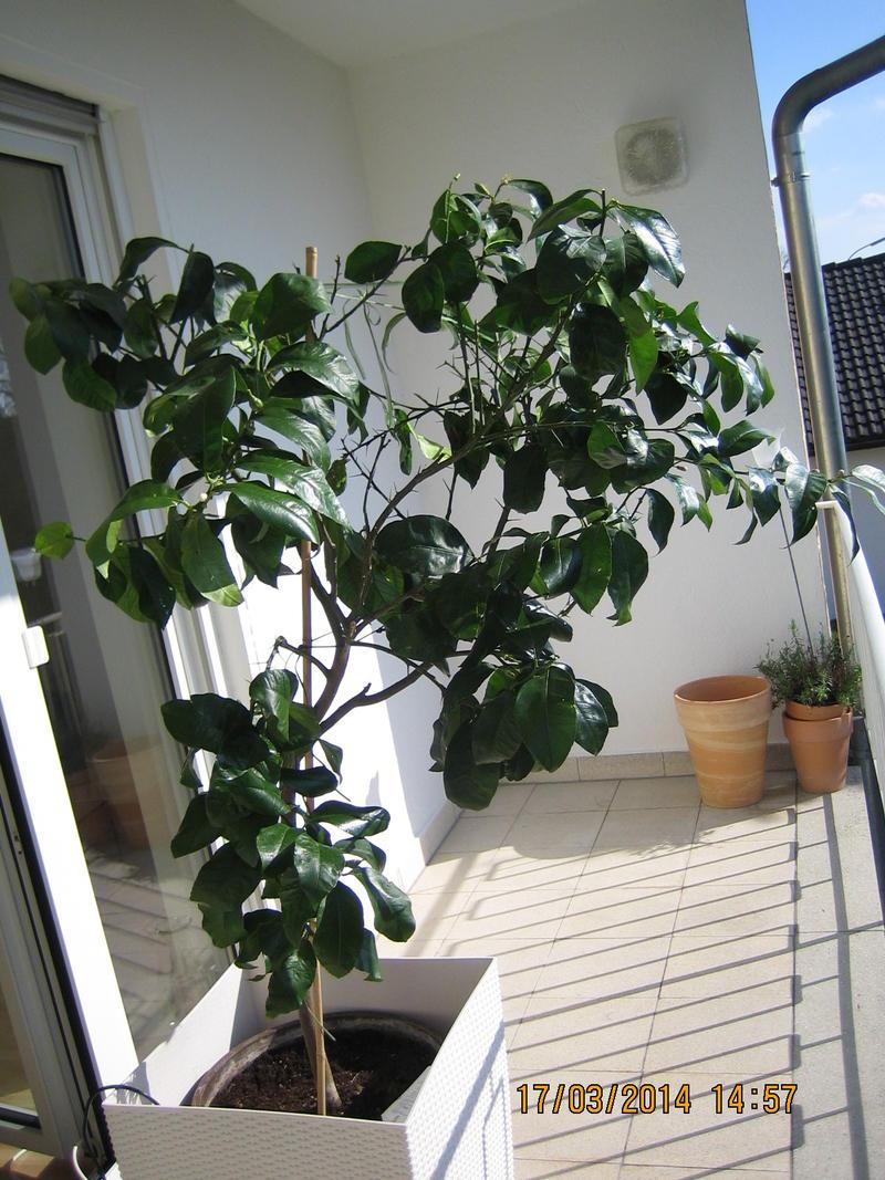 zitronenbaum l sst bl tter h ngen zu viel oder zu wenig gegossen page 2 mein sch ner. Black Bedroom Furniture Sets. Home Design Ideas