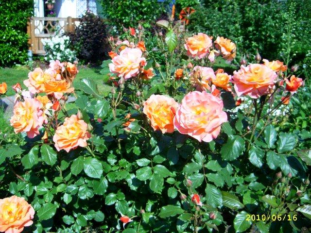 Klettergerüst Rosen : Strauchrose wie breit wird sie? mein schöner garten forum