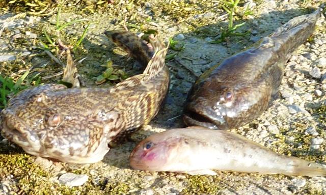 barsch angeln im ijsselmeer
