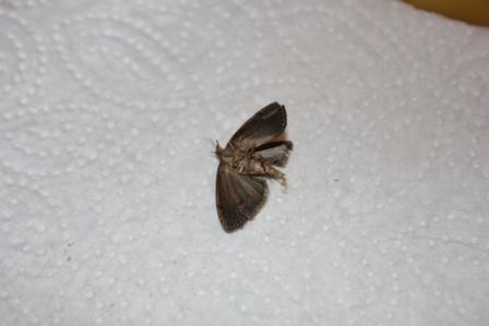 motte bestimmen identification of butterflies actias. Black Bedroom Furniture Sets. Home Design Ideas
