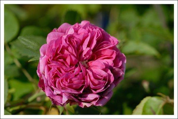 alte rosensorten 18095477un