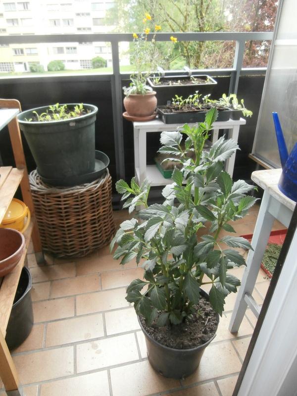 dahlien in t pfen vorgetrieben wann und wie ins beet pflanzen mein sch ner garten forum. Black Bedroom Furniture Sets. Home Design Ideas