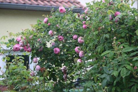 jedes jahr blattl use auf meinen rosen seite 4 rund um. Black Bedroom Furniture Sets. Home Design Ideas