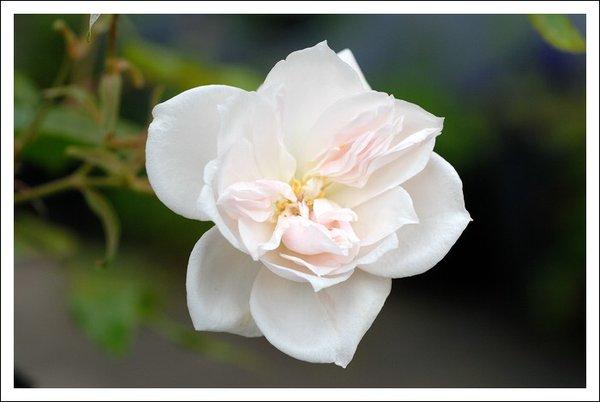 alte rosensorten 18304612rm