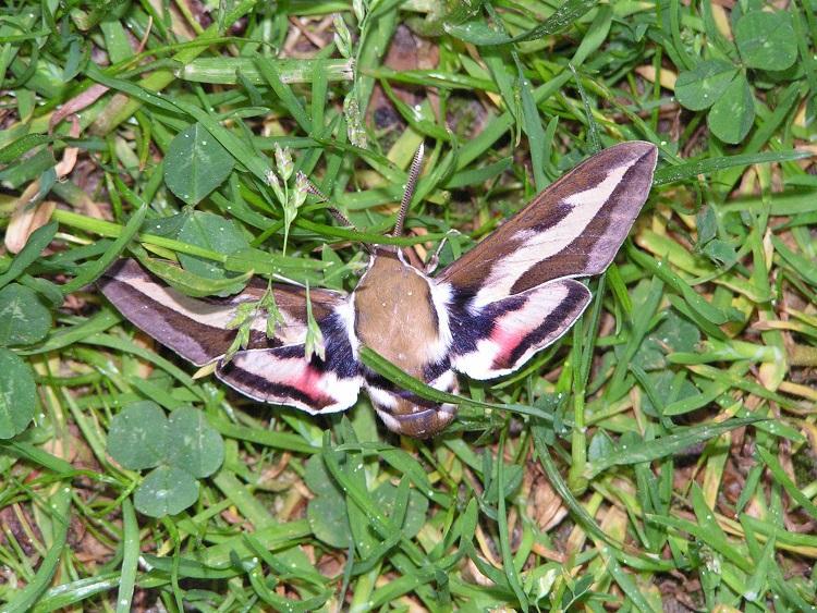 Schmetterlinge / Falter 18339570as