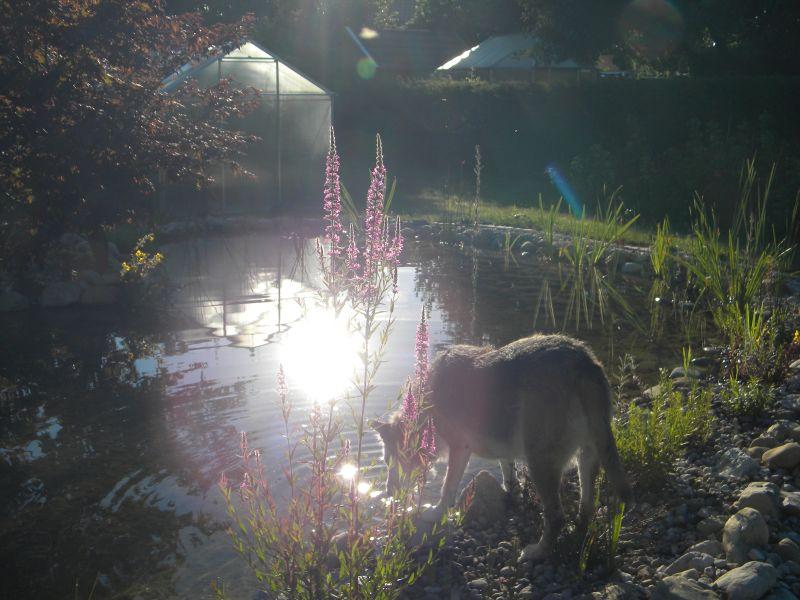 """Anführerin eines """"Wolfsrudels"""" beim abendlichen Wasserfassen 18809563uo"""