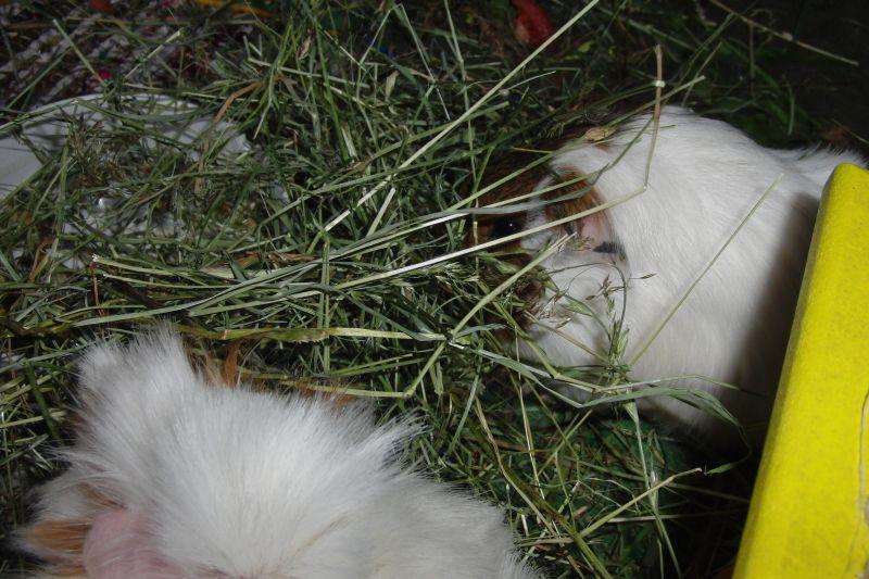 heukorb.de Heu Timothy 100/% für Kaninchen /& Meerschweinchen 16kg