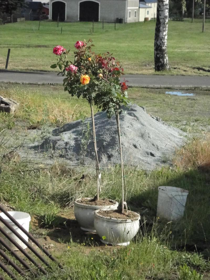 rosenb umchen in kugelform schneiden mein sch ner garten forum. Black Bedroom Furniture Sets. Home Design Ideas