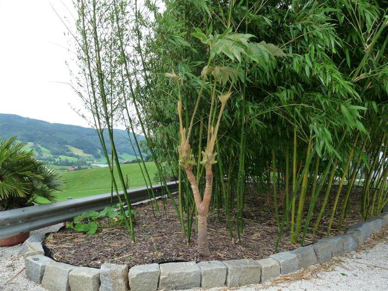 bambus ableger bambus vermehren wie bambus vermehren. Black Bedroom Furniture Sets. Home Design Ideas