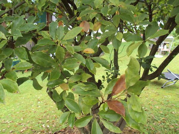 magnolie mit braunen bl tter mein sch ner garten forum. Black Bedroom Furniture Sets. Home Design Ideas
