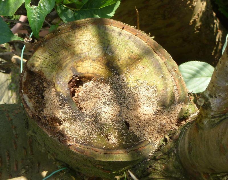 Radiokarbon-Datierung lebenden Baum