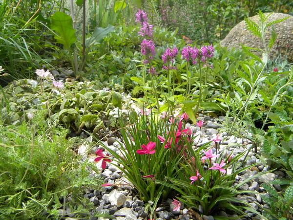 suche dauerbl her in pink rosa lila blau mein sch ner garten forum. Black Bedroom Furniture Sets. Home Design Ideas