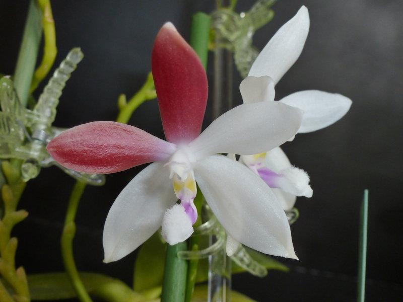 was bl ht im august phalaenopsis species und prim rhybriden orchideenforum. Black Bedroom Furniture Sets. Home Design Ideas