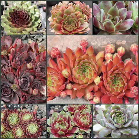 Sempervivum-Collage 19622187ng