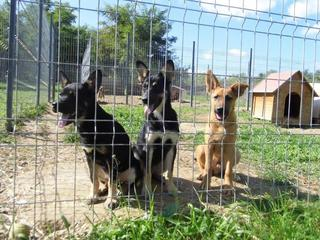 Zorro, Schäferhundmischlingsrüde, ca, 5 Monate 19659798kr