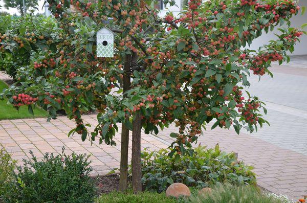 mini apfelbaum schneiden wann und wie sie einen apfelbaum schneiden anleitung plantopedia. Black Bedroom Furniture Sets. Home Design Ideas