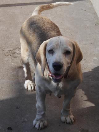 Hetty, Beagle-Basset-Mischlingshündin, ca. 7 Jahre 19895586pd