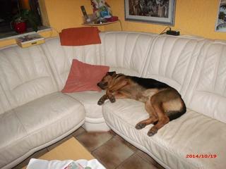 Elmo, Schäferhundmischlingsrüde, ca. 1 Jahr 19968073qt