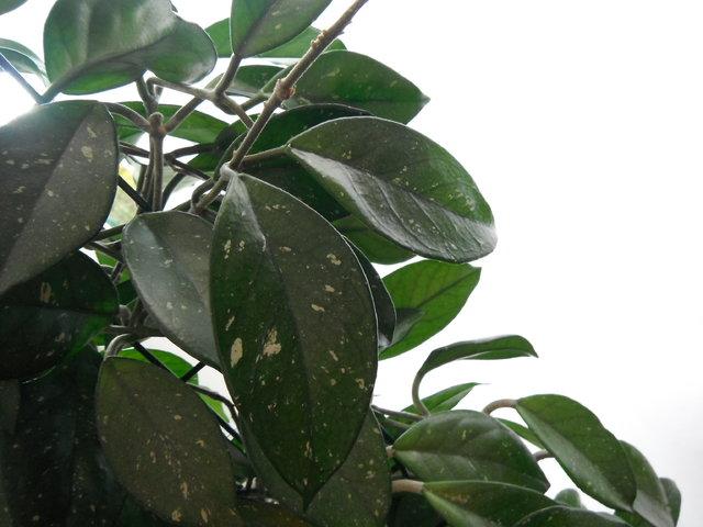 Zimmerpflanzen fotos eigene erfahrungen pflegetipps page 10 mein sch ner garten forum - Rankende zimmerpflanzen ...