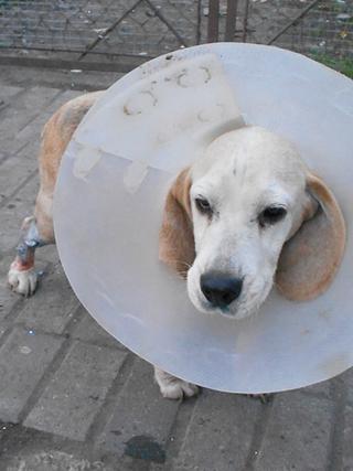 Hetty, Beagle-Basset-Mischlingshündin, ca. 7 Jahre 20109914mh