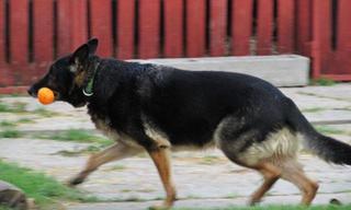 NOTFALL - Rexi, Schäferhundrüde, ca. 9 Jahre 20117887cc