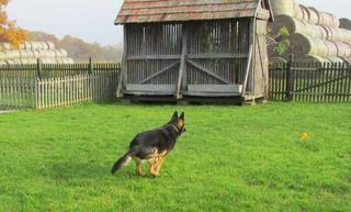 NOTFALL - Rexi, Schäferhundrüde, ca. 9 Jahre 20117889zb