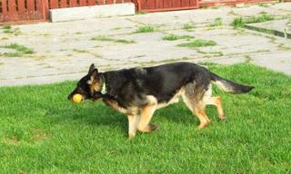 NOTFALL - Rexi, Schäferhundrüde, ca. 9 Jahre 20117897ox