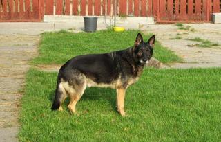 NOTFALL - Rexi, Schäferhundrüde, ca. 9 Jahre 20117899gu