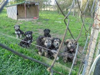 Domingo, Mischlingsrüde, ca. 5 Monate 20118124mh