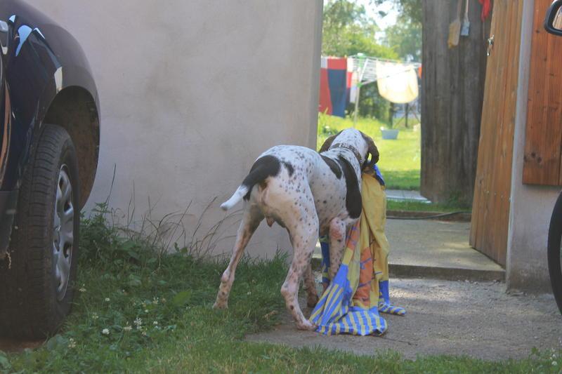 Bildertagebuch - Tarzan, ein ganz armer Pointerbub aus Sahagun lebt jetzt in einer Dauerpflegestelle... 20233781dy