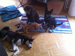 Zorro, Schäferhundmischlingsrüde, ca, 5 Monate 20325655ni