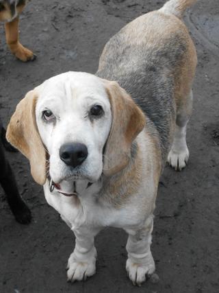 Hetty, Beagle-Basset-Mischlingshündin, ca. 7 Jahre 20397068ot