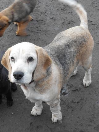 Hetty, Beagle-Basset-Mischlingshündin, ca. 7 Jahre 20397069vz