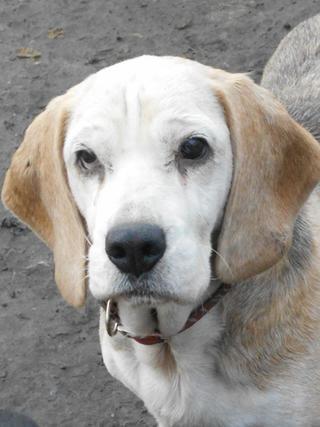 Hetty, Beagle-Basset-Mischlingshündin, ca. 7 Jahre 20397070bx