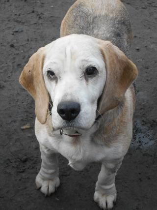 Hetty, Beagle-Basset-Mischlingshündin, ca. 7 Jahre 20397071fl