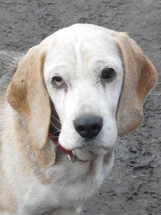 Hetty, Beagle-Basset-Mischlingshündin, ca. 7 Jahre 20397072ru