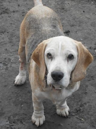 Hetty, Beagle-Basset-Mischlingshündin, ca. 7 Jahre 20397086yu