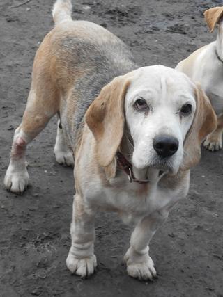 Hetty, Beagle-Basset-Mischlingshündin, ca. 7 Jahre 20397087tj
