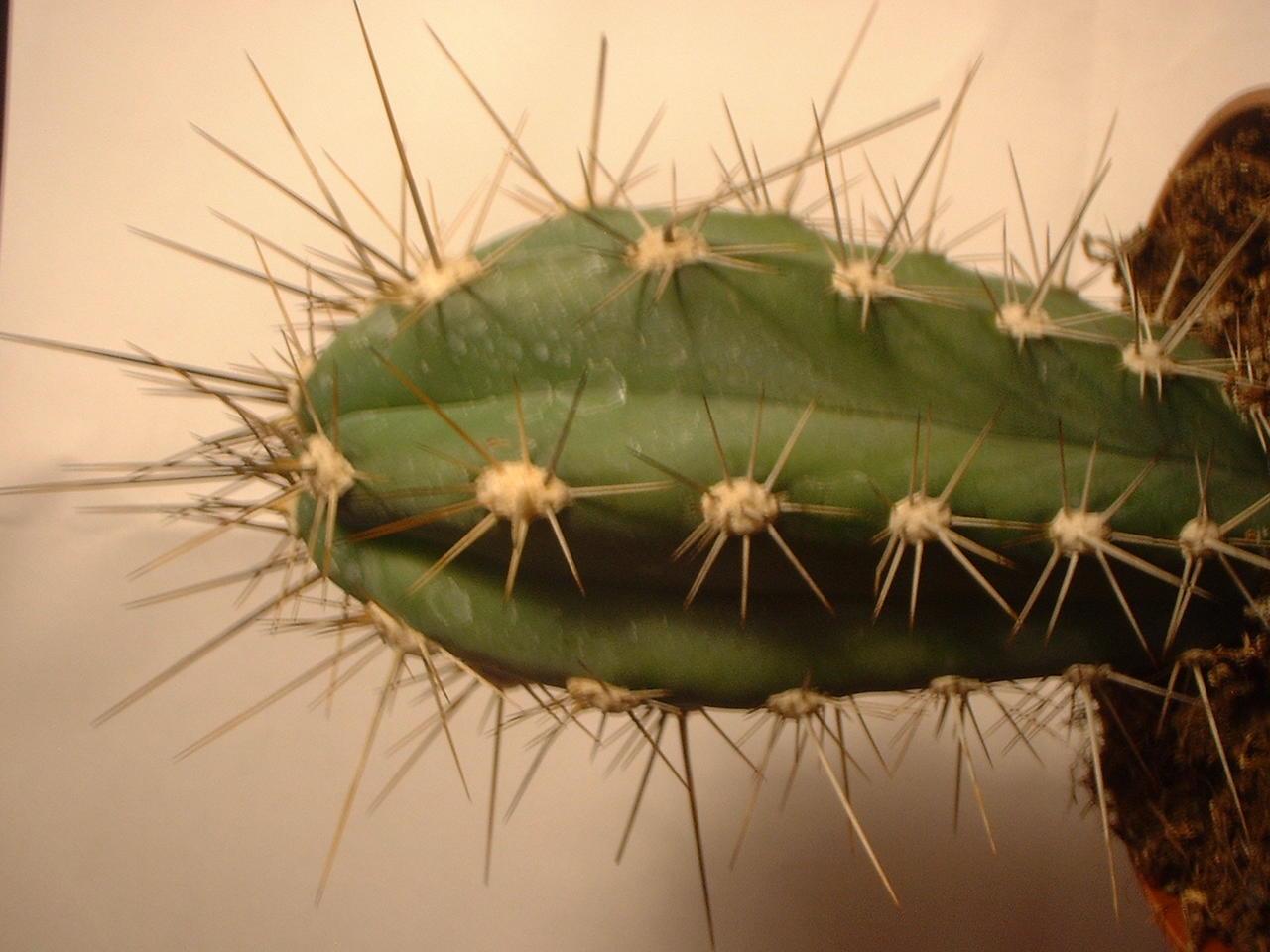 mysticalforum thema anzeigen kaktus bestimmen. Black Bedroom Furniture Sets. Home Design Ideas