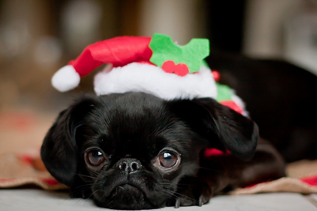 frohe weihnachten hundefotos videos der hund. Black Bedroom Furniture Sets. Home Design Ideas