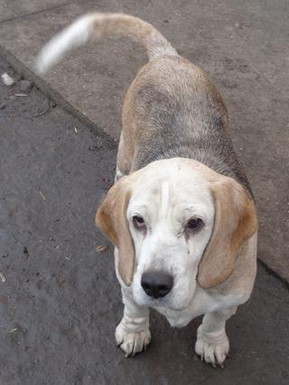 Hetty, Beagle-Basset-Mischlingshündin, ca. 7 Jahre 20809050et