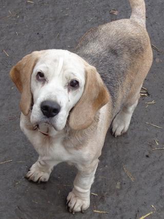 Hetty, Beagle-Basset-Mischlingshündin, ca. 7 Jahre 20809051qw