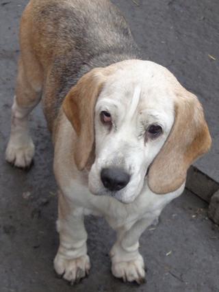 Hetty, Beagle-Basset-Mischlingshündin, ca. 7 Jahre 20809052ct